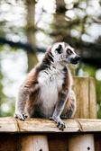 Lémur catta. — Photo