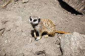Slender-tailed meerkat. — Stock Photo