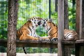 Tigers — Stock Photo
