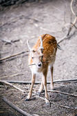 Fallow deer. shallow depth of field. — Stock Photo