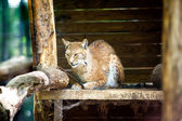 Northern lynx — Stock Photo