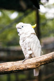 Sulphur-crested cockatoo — Stock Photo