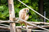 Lar gibbon — Stock Photo