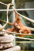 Orangutan baby — Stock Photo