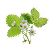Strawberry plant isolated — Stock Photo