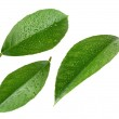 Lemon leaves with drops isolated on white — Stock Photo