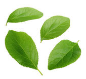 Plum leaves isolated on white — Foto Stock