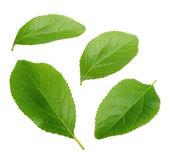 Plum leaves isolated on white — Stockfoto