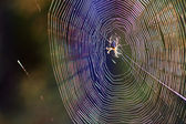 Spider and spider web — Stock Photo
