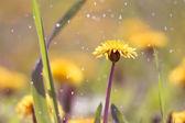 Dandelion in rain — Stock Photo