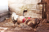 Cock fight — Stock Photo
