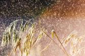 Grass in rain — Stock Photo