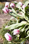 Tulips in garden — Stock Photo