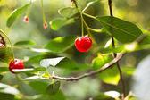 Ripe red cherries — Stock Photo
