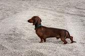 Dog on beach — Stockfoto