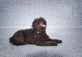 Hond bruin — Stockfoto