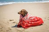 Dachshund dog with scarf on beach — Stock Photo
