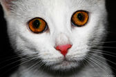 White cat — Foto de Stock