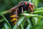 Vespa crabro — Stock Photo