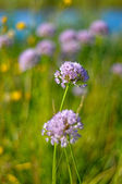 Beautiful violet flowers of allium aflatunense field — Foto Stock