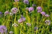 Lindas flores violetas de campo de allium aflatunense — Foto Stock
