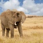 ������, ������: Elephant Charging