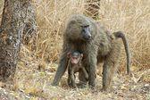Babbuino con bambino — Foto Stock