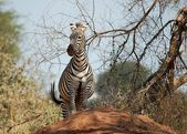 Zebra on termite mound — Stock Photo