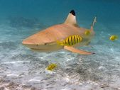 Black tip reef shark — Stock Photo