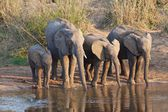 Elephants drinking in river — Stock Photo