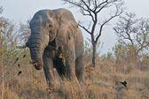 One tusk elephant — Stock Photo