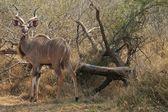 Afrikanische kudo — Stockfoto