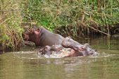 Baby hippos playing — Stock Photo