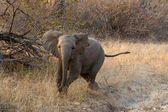 Слоненок зарядки — Стоковое фото