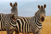Two watchful zebras — Stockfoto