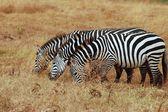 Trzy zebry — Zdjęcie stockowe