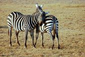 Two loving Zebras — Stock Photo