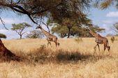 Duas girafas na áfrica — Fotografia Stock