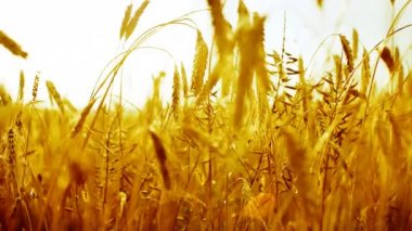 Golden cereal crop — Stock Video