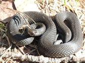 Serpientes — Foto de Stock