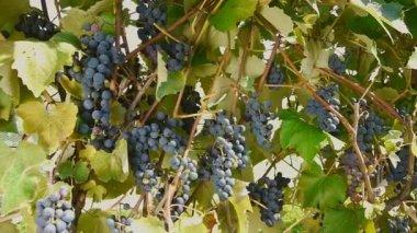 Vine — Stock Video