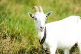 Chèvre sur une prairie — Photo