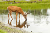 A young male deer drinks from a lake — Stock Photo