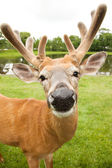 Young male Fallow Deer — Stock Photo