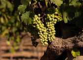 Beautiful wine grapes ripe for harvest — Stock Photo