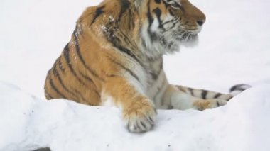 Tiger lying in the snow — Stock Video