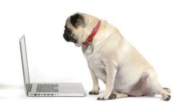 Pug dog and computer — Stock Video