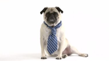 Pug wearing a tie — Stock Video
