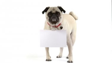 Pug dog faces the camera with a blank sign — Stok video