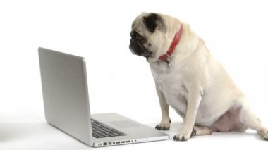 Pug dog looks at the screen of a laptop computer — Stock Video